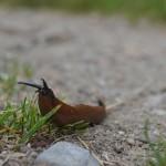 Slip af med dræbersneglene – gode råd